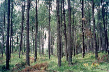 Manfaat Pinus Bagi Kesehataan Hutan Pinus